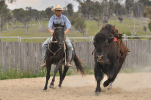 Luke Bennett working the sale horses on the bison.
